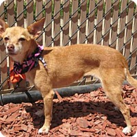 Chihuahua Dog for adoption in Norco, California - *SUZIE