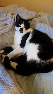 Domestic Shorthair Cat for adoption in Jerseyville, Illinois - Bernadette