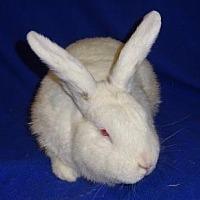 Adopt A Pet :: Simon - Woburn, MA