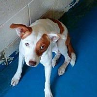 Adopt A Pet :: Chi-Chi - Waycross, GA