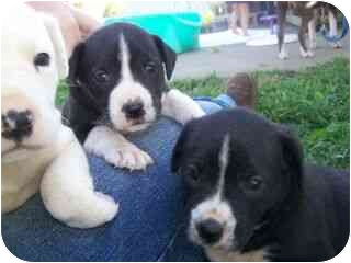 Boxer Mix Puppy for adoption in Stockton, Missouri - Beth and Betty