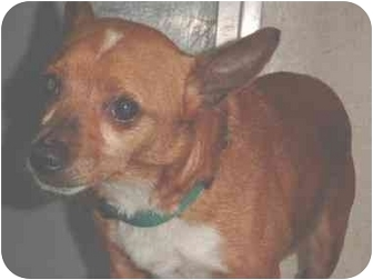 Chihuahua/Miniature Pinscher Mix Dog for adoption in Berkeley, California - Reginald