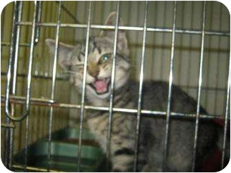 Domestic Shorthair Cat for adoption in Henderson, North Carolina - Garcy