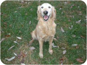 Golden Retriever Mix Dog for adoption in Shelbyville, Kentucky - Maggie