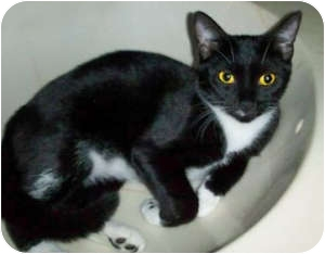 Domestic Shorthair Cat for adoption in Indian Rocks Beach, Florida - Rena