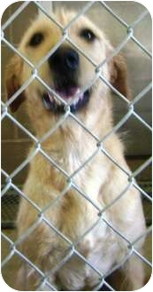 Labrador Retriever/Terrier (Unknown Type, Medium) Mix Dog for adoption in Cibolo, Texas - Alba