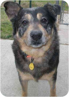 Cattle Dog Mix Dog for adoption in Auburn, California - Winston