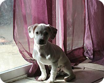 Chihuahua/Basset Hound Mix Puppy for adoption in Seattle, Washington - Shadow