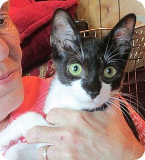 Domestic Shorthair Kitten for adoption in Long Beach, New York - Sky