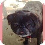 Pug Mix Dog for adoption in Pismo Beach, California - Lucy