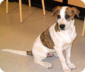 Retriever (Unknown Type)/Terrier (Unknown Type, Medium) Mix Puppy for adoption in Phoenix, Arizona - Mr. C