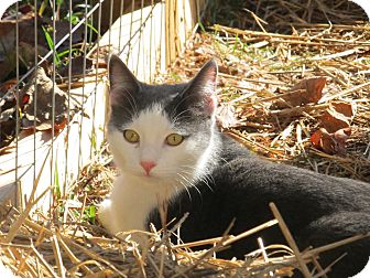 Domestic Shorthair Cat for adoption in Bedford, Virginia - Jack