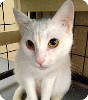 Domestic Shorthair Cat for adoption in Fountain Hills, Arizona - GOLDIE