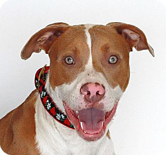American Pit Bull Terrier Mix Puppy for adoption in Berkeley, California - Jeremy