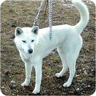 Siberian Husky Dog for adoption in Various Locations, Indiana - Sheba
