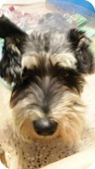 Schnauzer (Miniature) Dog for adoption in Mary Esther, Florida - Cody