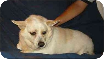 Corgi/Chihuahua Mix Dog for adoption in New Carlisle, Indiana - Hillary