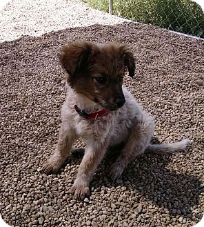 Spaniel (Unknown Type)/Blue Heeler Mix Puppy for adoption in Meridian, Idaho - Dusty Rose
