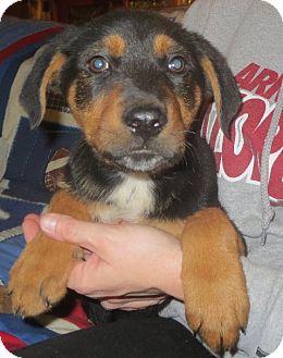 German Shepherd Dog Mix Puppy for adoption in Allentown, Pennsylvania - Rita