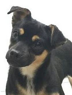 Chihuahua Mix Dog for adoption in Allentown, Pennsylvania - Fifi