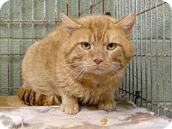Domestic Shorthair Cat for adoption in Marlinton, West Virginia - Dave