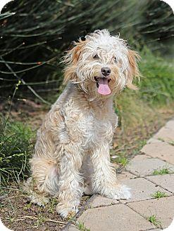 Miniature Poodle/Tibetan Spaniel Mix Dog for adoption in Berkeley, California - Casey