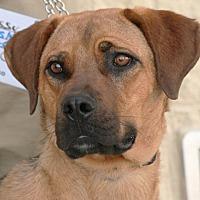 Adopt A Pet :: Sassy - Palmdale, CA