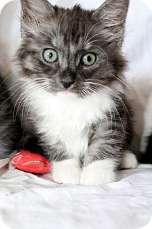 Domestic Mediumhair Kitten for adoption in Las Vegas, Nevada - Pennie