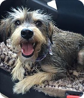 Terrier (Unknown Type, Small)/Schnauzer (Miniature) Mix Dog for adoption in Encino, California - Imelda