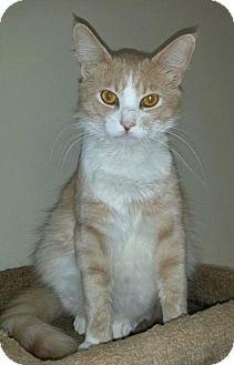 Siberian Cat for adoption in Buford, Georgia - Rudy