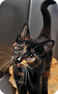 Calico Cat for adoption in Fort Leavenworth, Kansas - Blossom