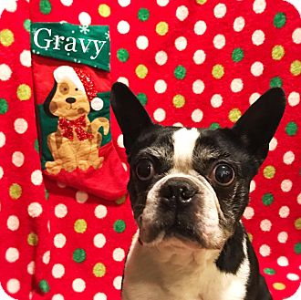 Boston Terrier Dog for adoption in Cleveland, Ohio - Pass the Gravy