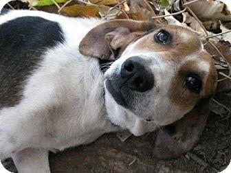 Treeing Walker Coonhound/Hound (Unknown Type) Mix Dog for adoption in Lexington, Massachusetts - Rockefeller