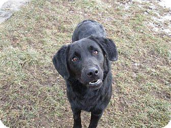 Labrador Retriever/Flat-Coated Retriever Mix Dog for adoption in Liberty Center, Ohio - Jazlynn