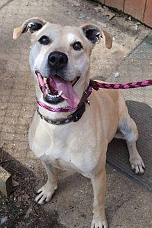 Labrador Retriever/Shepherd (Unknown Type) Mix Dog for adoption in Ozone Park, New York - Chip (Female)