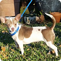 Dachshund/Chihuahua Mix Dog for adoption in Houston, Texas - KOOKIE