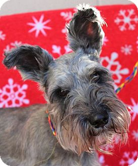 Schnauzer (Miniature) Mix Dog for adoption in Red Bluff, California - PEPPER:Lower Fees:Neutered