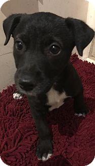 Shepherd (Unknown Type)/Labrador Retriever Mix Puppy for adoption in Tucson, Arizona - Tania