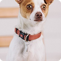 Adopt A Pet :: Roxy Roo - Portland, OR