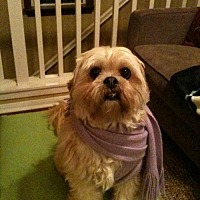 Lhasa Apso Dog for adoption in Lancaster, California - Chester