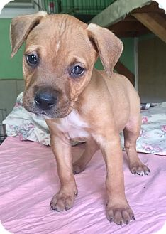 American Pit Bull Terrier/Labrador Retriever Mix Puppy for adoption in Santa Ana, California - Butternut