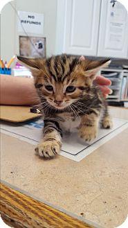 Domestic Shorthair Kitten for adoption in Middletown, New York - Kittens