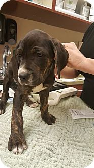 Pit Bull Terrier/Hound (Unknown Type) Mix Puppy for adoption in Fort Wayne, Indiana - Henry