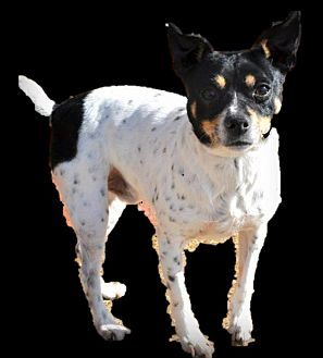 Jack Russell Terrier/Rat Terrier Mix Dog for adoption in Collierville, Tennessee - Spot