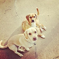 Basset Hound/Labrador Retriever Mix Dog for adoption in Chattanooga, Tennessee - Mancy & Warrior