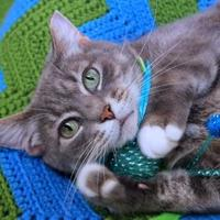 Domestic Shorthair/Domestic Shorthair Mix Cat for adoption in Mentor, Ohio - Minerva