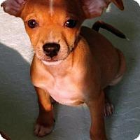Adopt A Pet :: Rexxi  a taco terrier puppy - Arlington, WA