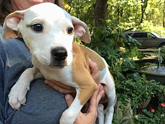 Terrier (Unknown Type, Medium)/Beagle Mix Puppy for adoption in Olive Branch, Mississippi - Cleopatra