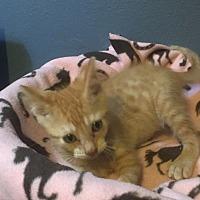 Adopt A Pet :: Carrot - Tampa, FL
