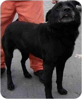 Labrador Retriever Mix Dog for adoption in Charlottesville, Virginia - Boss